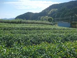 茶畑、快晴