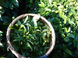 茶畑、お茶摘み